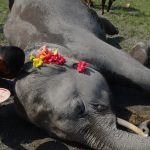 Elephant Killed By Plastic Waste