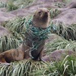 Massive Microplastic Contamination Detected In Seals & Deep-Sea Fishes