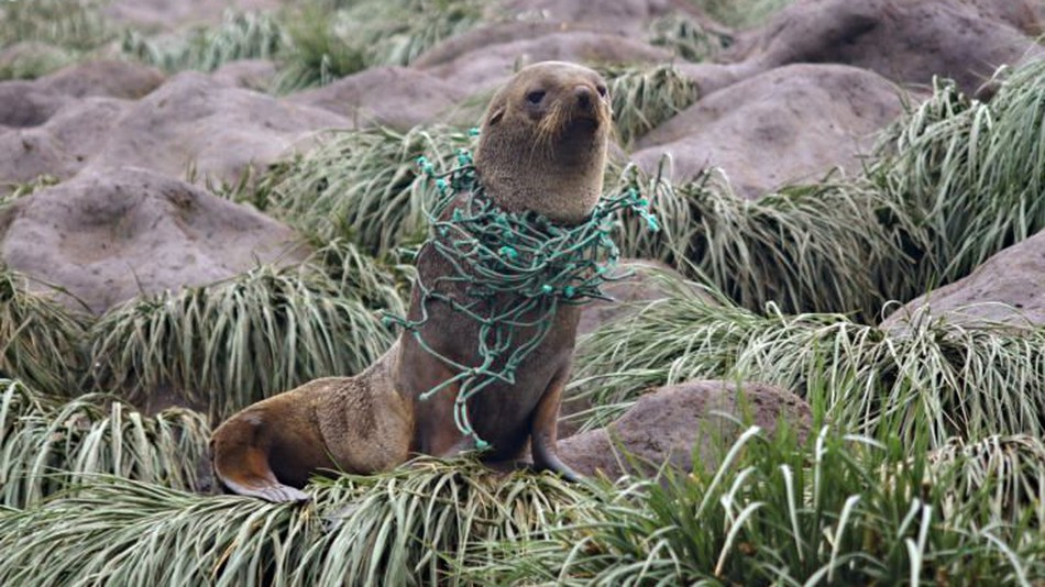 plastic pollution affecting seals
